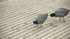 Two coots eating. Coots eating food left by park staff stock video footage