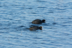 Two coots racing Stock Image