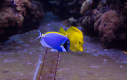 Two coral reef fishes royalty free stock photography