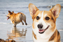Two Corgi Dogs Playing At Beach Stock Images