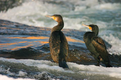Two cormorants Royalty Free Stock Photography