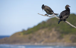 Two Cormorants on a Branch Royalty Free Stock Photo