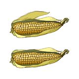 Two corn on the cob. Color isolated image with a dark outline on a white background corn on the cob. Production, processing, sale, cereals, flour Royalty Free Stock Images