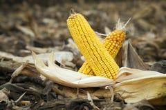 Two corn cobs Royalty Free Stock Photos