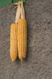 Two corn cobs hanging on wall - autumn crop Royalty Free Stock Image