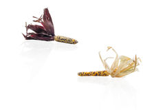 Two Corn Ears On Isolated Background Royalty Free Stock Images