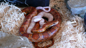 Two corn Snakes Stock Image