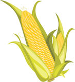 Two corncobs isolated on the white Royalty Free Stock Photos