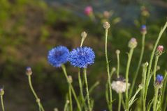Two cornflowers on a dark background stock images