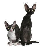 Two Cornish Rex cats, 7 months old, sitting