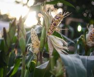 Corn fields with blurred and bright background royalty free stock image