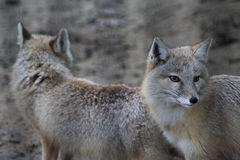 Two Corsac fox Stock Image