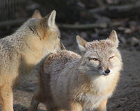 Two Corsac fox Stock Images