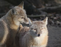Two Corsac fox Royalty Free Stock Images