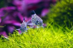 Two Corydoras Trinilleatus Catfish,aquarium fish Stock Photos