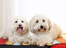 Two coton de tulear dogs Royalty Free Stock Images