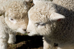 Two cotswold Lambs with their heads together. stock photo
