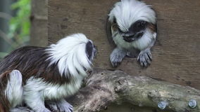 Two Cotton-top Tamarin stock footage