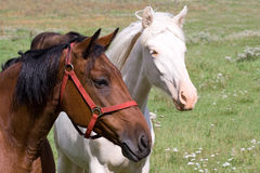 Two country horses Stock Photos