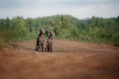 Two couple Young Cute Weimaraner at the Beautiful bokeh background sitting royalty free stock photography