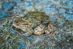 Two coupling frog on stone and grass, macro photo.  royalty free stock photos