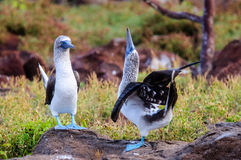Two courting blue footed Boobies Stock Images