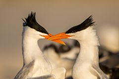 Two courting royal tern facing each other. Thalasseus maximus, Venice Beach, Florida royalty free stock image