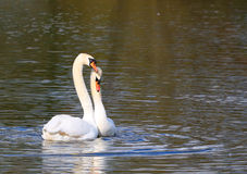 Two courting swans together prior to breeding. Stock Photos