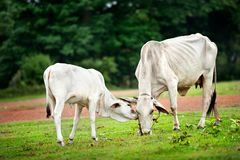 Two cow eating grass Royalty Free Stock Image