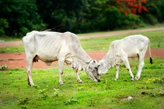 Two cow eating grass Stock Images