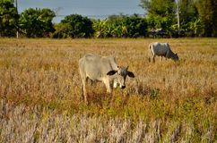 Two cow eating yellow grass. Royalty Free Stock Photo