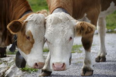 Two cow friends Royalty Free Stock Images