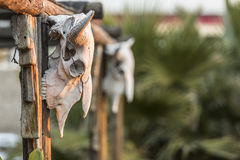 Two Cow Skulls on Porch Stock Images