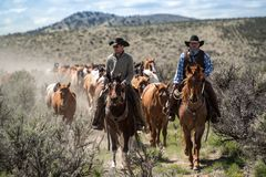 Two cowboys lead the horse herd on annual trail drive  May 1, 2016 Craig, COrive roundup. Two cowboy wranglers lead the horse herd on annual dusty trail drive Royalty Free Stock Photo
