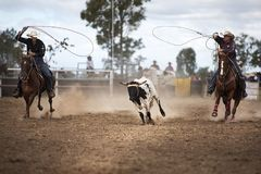 Two Cowboys Roping A Calf At A Rodeo. In Australia.  They lasso the calf as it runs.  Shows the excitement and entertainment of a country rodeo Stock Photo
