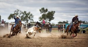 Two Cowboys Roping A Calf At A Rodeo. In Australia.  One cowboy has lassoed the calf and the other has his rope at the ready.  The calf is resisting but is Royalty Free Stock Photo