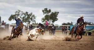 Two Cowboys Roping A Calf At A Rodeo royalty free stock photo