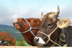 Two cows. Two bavarian bronw cows onthe cattle market Royalty Free Stock Photos
