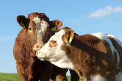 Two cows. Cows out at feed on grazing land Royalty Free Stock Photography