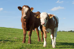 Two cows. Cows out at feed on grazing land Royalty Free Stock Images