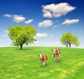 Two cows. In the spring landscape Royalty Free Stock Image