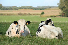 Free Two Cows Stock Photos - 259343