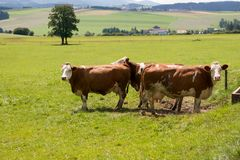 Two cows grazing on a family farm in the meadow Stock Photo