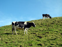 Two cows. On a green field hill Stock Images