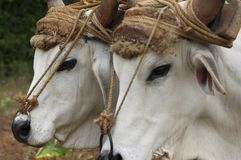 Two cows. Two white cows used as workforce royalty free stock image