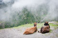 Two cows admire the scenery of foggy mountains Royalty Free Stock Photos