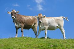 Two cows against blue sky. Swiss cows against blue sky Royalty Free Stock Image