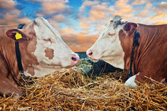 Two cows Stock Photos