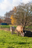 Two cows in autumn Royalty Free Stock Photo