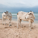 Two cows on beach. Two indian cows walking on the beach in sri lanka Stock Image